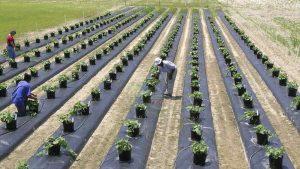 مالچ کشاورزی پلاستیک